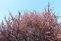 樱花花满树