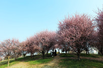 樱花下拍照的学生