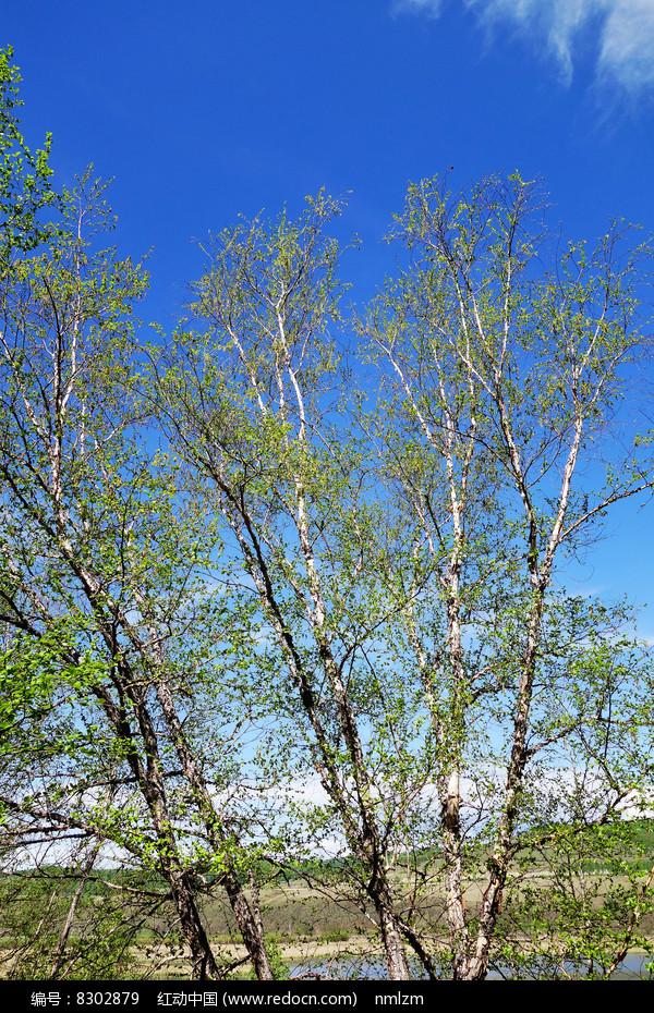 大兴安岭树种黑桦树 图片