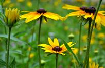 积极向上的黑心菊