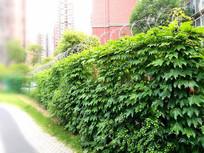 漂亮的小区爬山虎围墙
