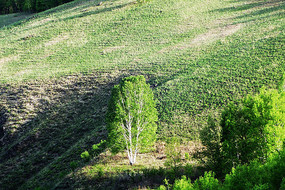 山坡一棵白桦树风景