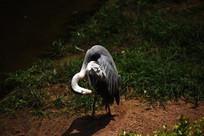疏理羽毛的灰鹤