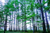挺拔的绿色松林