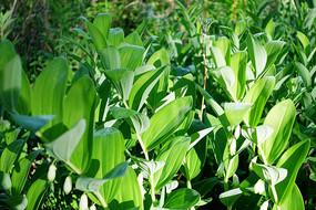 野生药用植物玉竹