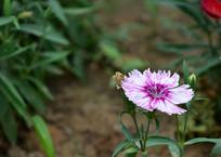 一朵白紫色彩色石竹花