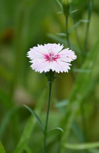 一朵纯洁的的白色石竹花