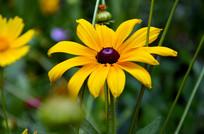 一朵花丛中的黑心菊
