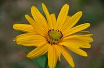 一朵黄色金光菊