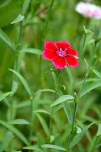 一朵娇艳的红色石竹花