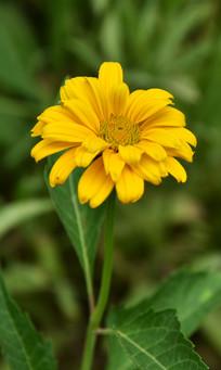 一枝向上的金光菊