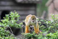 爬树的金丝猴