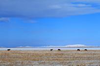 冰雪牧场马群