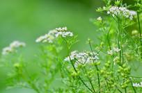 小花绿色背景图片