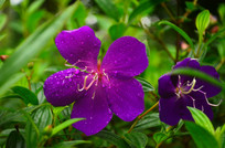 野牡丹花卉特写图片