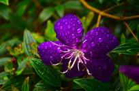 野牡丹花上的水珠