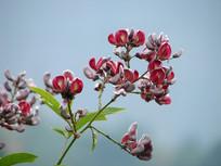 美丽的鸡血藤花朵