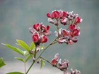 漂亮的鸡血藤花朵