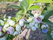 生态蓝莓种植