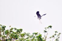 树梢上飞翔的鹭鸟