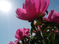 太阳下的几朵赤芍花图片