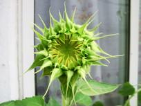 未盛开的向日葵花