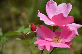 盛开的单瓣月季花