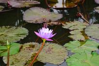 粉紫色的睡莲