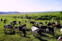 牧场牛群风景