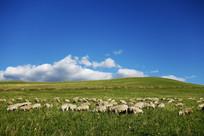 牧场羊群风景