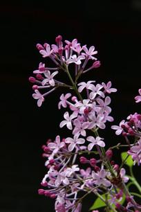 黑背景下的紫色丁香花