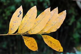 七片黄色叶子