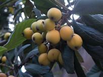 枇杷树果实