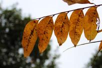 四片黄色叶子