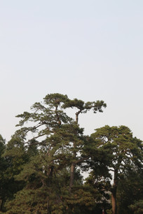 颐和园的古松柏树