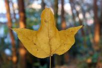 一片枫树叶