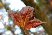 一片红枫树叶