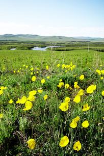 牧场野罂粟风景