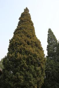 锥形的松树