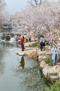 水岸盛开的樱花树林和赏花人