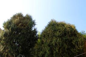 蓝天下的柏树