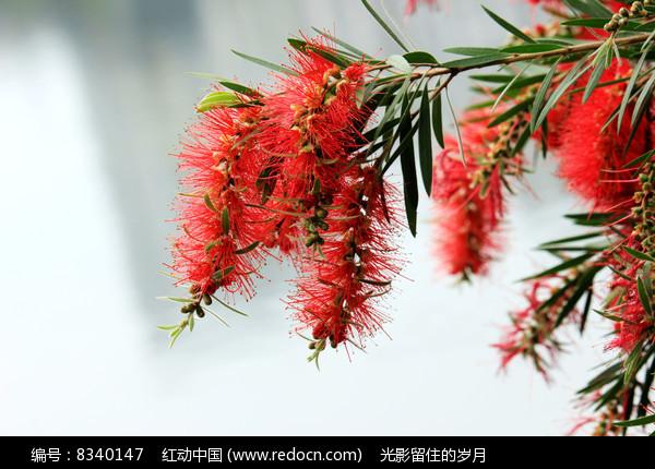 柳叶红千层图片