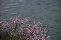 平湖水上红桃花