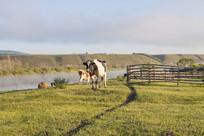 额尔古纳河草原上的奶牛