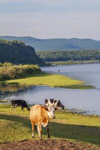 额尔古纳河的晨雾和牛