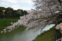 河边盛开樱花