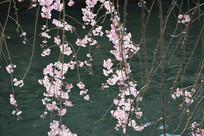娇美的樱花
