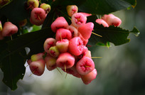 树上的莲雾果