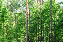 松树林风景