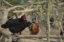 养鸡场里的乌鸡